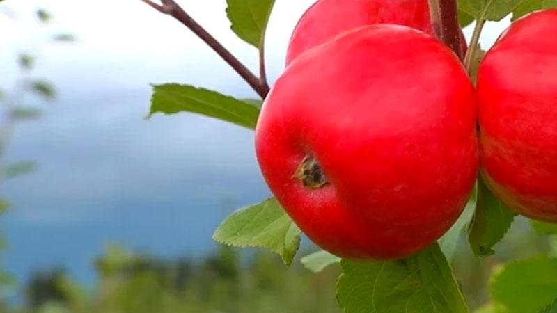 Ideaalne viljapuu või marjapõõsa istutamise õpetus: Reet Palusalu