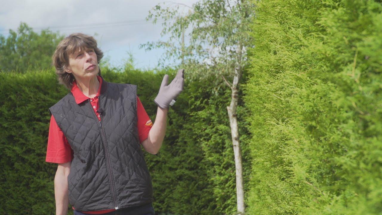 Kuidas valida igihaljast hekki. Vaata, millised on parimad hekitaimed Eestis hoolduse osas!