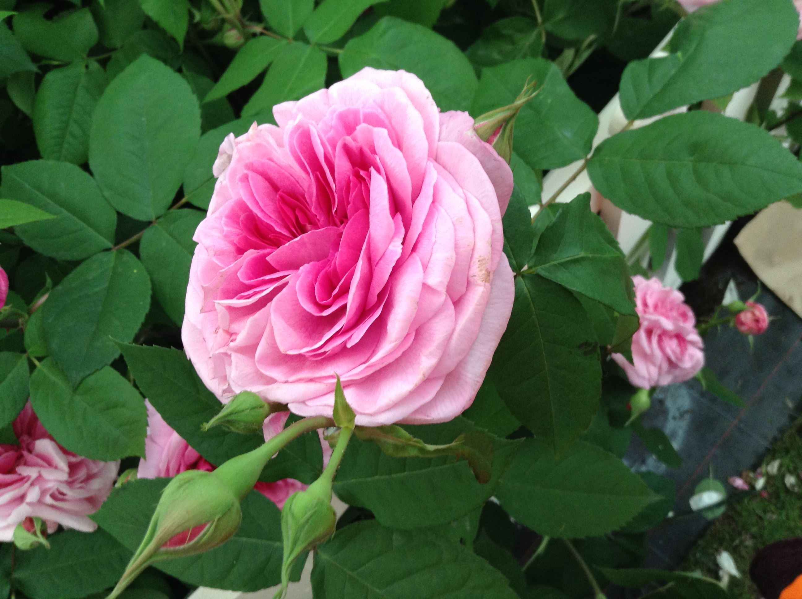 Christi Unt roosisortidest ja rooside hooldamisest: Roosoja roosid